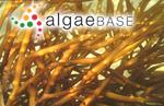 Agardhiella robusta (Greville) Børgesen