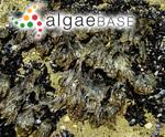 Porphyra laciniata f. umbilicalis (Kützing) Kleen