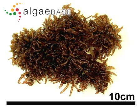Alaria platyrhiza Kjellman