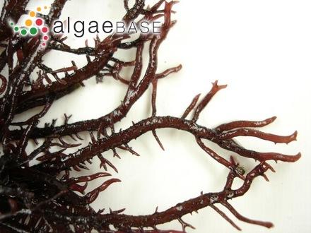 Rhodymenia moniliformis E.Blinova & A.D.Zinova