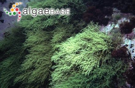 Kallymeniopsis circinnata Perestenko