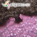 Sphacelaria olivacea var. radicans (Dillwyn) J.Agardh