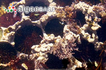 Gigartina unalaschcensis (Ruprecht) J.Agardh