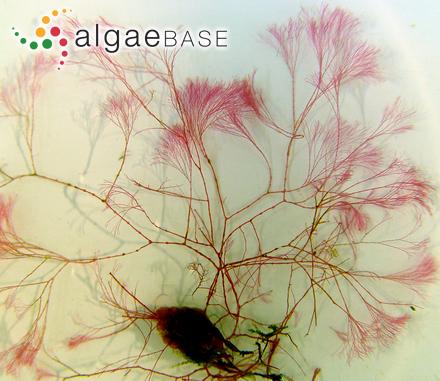 Anotrichium furcellatum (J.Agardh) Baldock