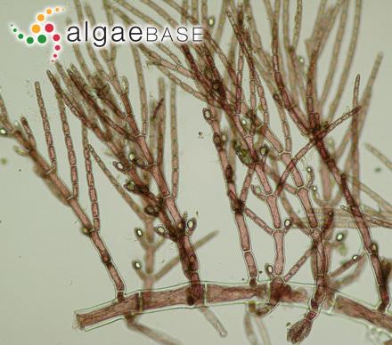 Phyllophora interrupta (Greville) J.Agardh