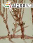 Antithamnion cruciatum (C.Agardh) Nägeli