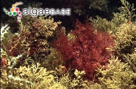 Scagelia pylaisaei f. corallina (Kjellman) Perestenko