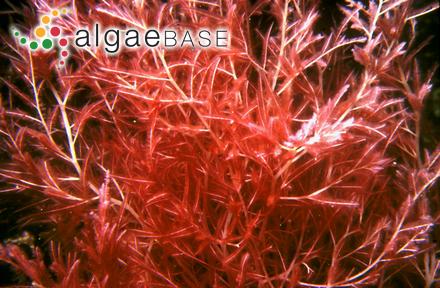 Callithamnion corallina Ruprecht