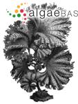 Fucus clathrus S.G.Gmelin