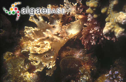 Conferva urceolata Lightfoot ex Dillwyn