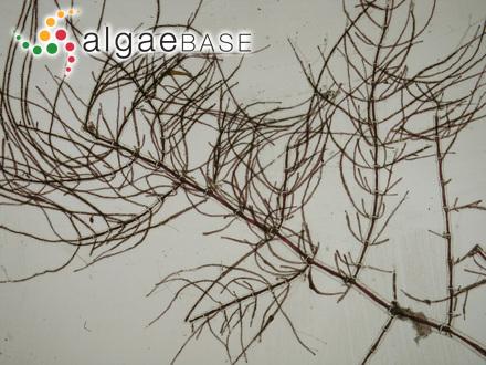 Neorhodomela sachaliensis (Masuda) Perestenko