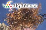Trematocarpus flabellatus (J.Agardh) De Toni