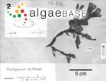 Rhodymenia coccocarpa (Montagne) M.J.Wynne
