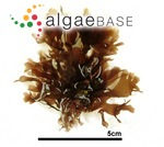 Acrosorium polyneurum Okamura
