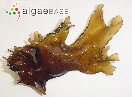 Dasyopsis plana (C.Agardh) Zanardini ex Falkenberg