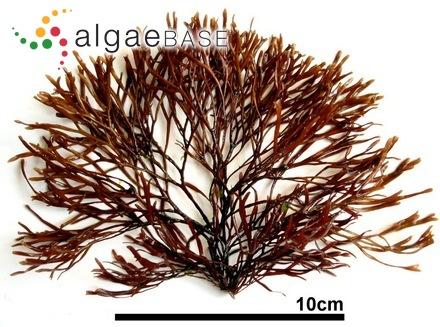 Hypoglossum tenuifolium var. carolinianum L.G.Williams