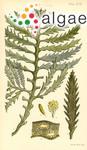 Fucus quercifolius R.Brown ex Turner