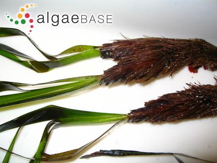 Hutchinsia nigrescens (Hudson) Lyngbye
