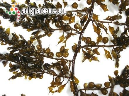 Chantransia sanctae-mariae Darbishire