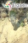Corallina flabellum J.Ellis & Solander