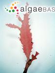 Nienburgia serrata (Suhr) Papenfuss