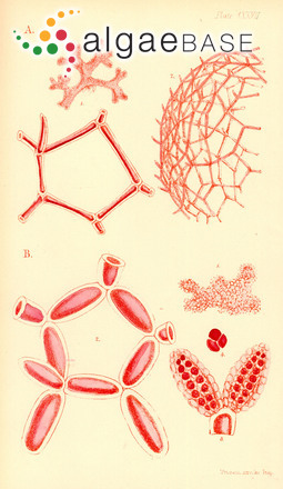 Halydictyon arachnoideum (Harvey) Harvey