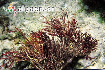 Ectocarpus maculans P.J.L.Dangeard