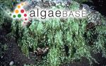 Ulva lactuca f. fasciata (Delile) Hering