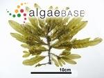Haliseris latiuscula Okamura