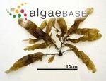 Dictyopteris latiuscula (Okamura) Okamura