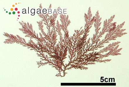 Valonia ventricosa J.Agardh