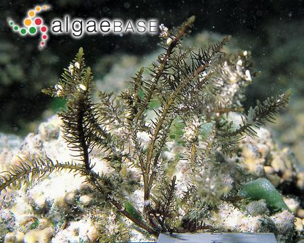 Hutchinsia spinella C.Agardh