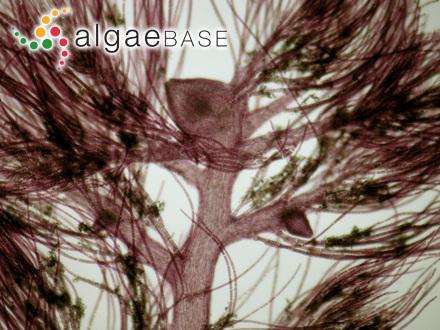 Platymenia carnosa J.Agardh