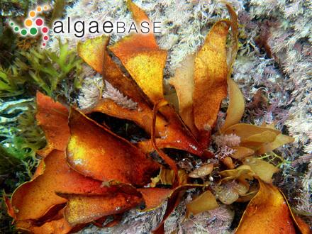 Dilsea carnosa (Schmidel) Kuntze