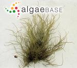 Fucus lichenastrum var. edulis (Gmelin) Poiret
