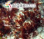 Erythroglossum lusitanicum Ardré