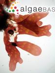 Acrosorium maculatum (Sonder ex Kützing) Papenfuss