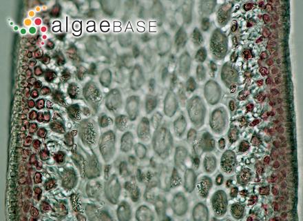 Acrochaetium macula (Rosenvinge) Hamel