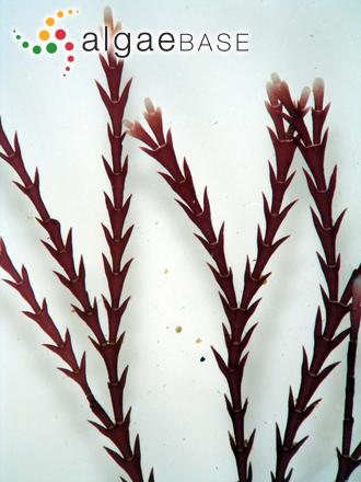 Cheilosporum sagittatum (J.V.Lamouroux) Areschoug