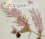 Gymnothamnion elegans (Schousboe ex C.Agardh) J.Agardh