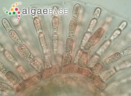 Cladophora globifera var. occidentalis Unknown authorities