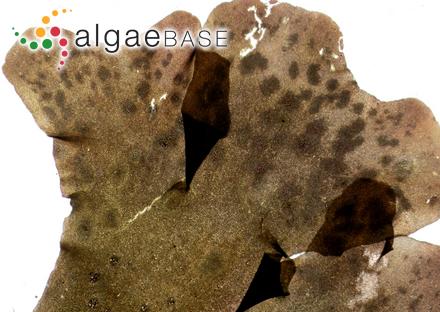 Pseudolithoderma fatiscens (Kuckuck) Svedelius