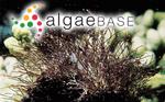Gelidiopsis intricata (C.Agardh) Vickers