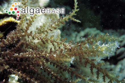 Giffordia intermedia (Rosenvinge) S.Lund