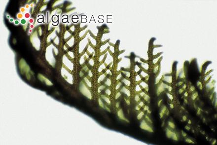 Mesophyllum corallioides (P.Crouan & H.Crouan) Me.Lemoine