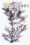 Laurencia intermedia Yamada