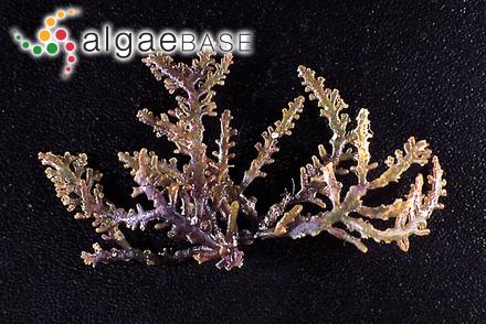 Cystoseira gibraltarica (Sauvageau) P.J.L.Dangeard