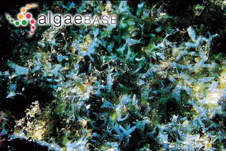 Gracilaria vermiculata P.J.L.Dangeard