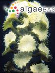 Turbinaria conoides (J.Agardh) Kützing