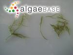 Kallymenia latiloba W.R.Taylor